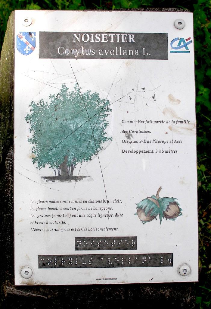 Coryllus avellana L.