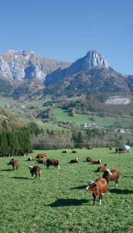 Troupeau d'Abondance dans un pâturage de Haute-Savoie.