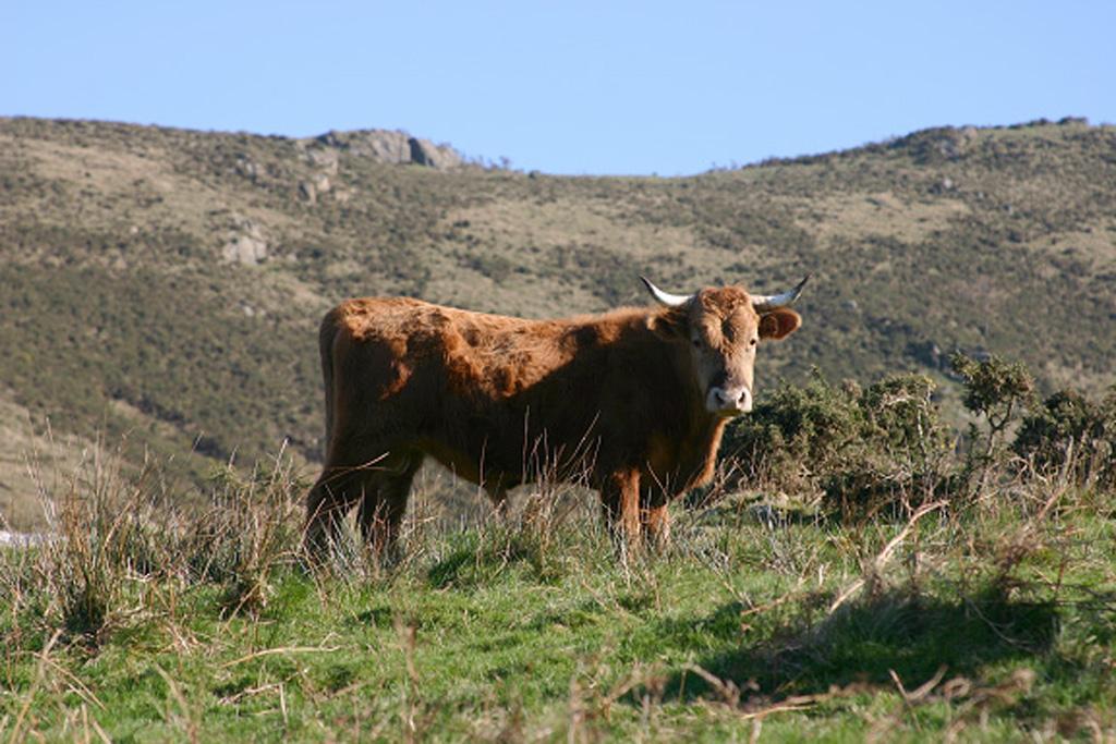 Taureau Betizu sur le massif du Xoldokogaina… Source Wikimedia Commons.