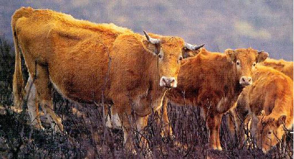 Vache et veaux Betizu : bien que sauvages, lorsqu'on les prend en photo, ils regardent poliment le photographe, comme leurs consoeurs et confrères, les bovins domestiques